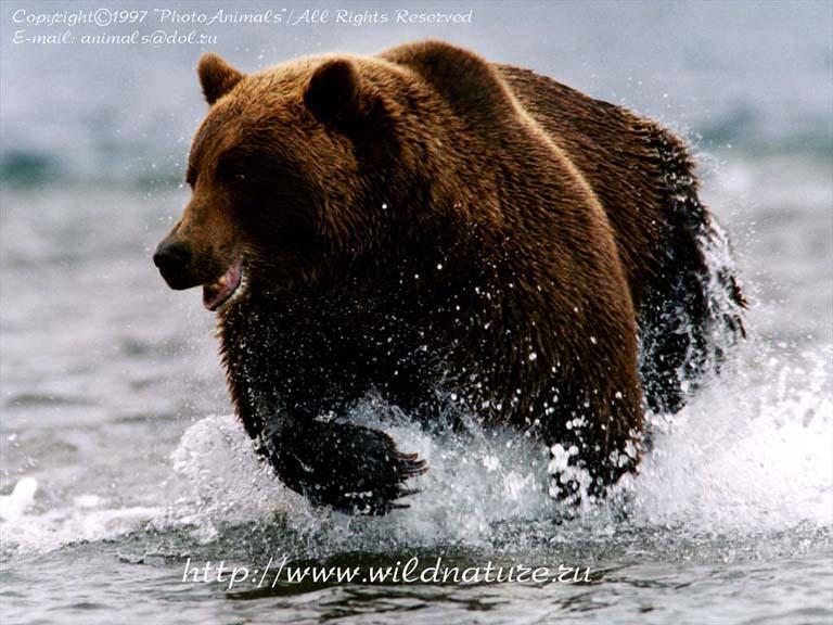 фото медведя в лесу.